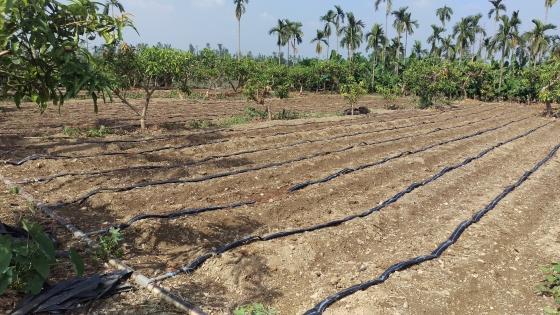 芋頭園地鋪設灌溉膠管
